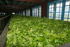 Fresh tea crop drying on tea factory. Fresh green tea crop drying on long warm surface inside of tea factory for withering Royalty Free Stock Photos