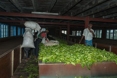 Fresh tea crop drying on tea factory Stock Image