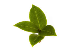Fresh tea leaf royalty free stock photography