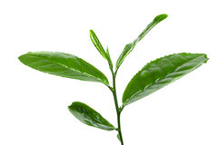 Fresh tea leafs. Isolated over white Stock Image