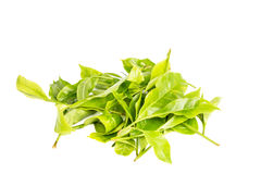 Fresh tea leafs Royalty Free Stock Image