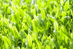 Fresh tea leaves Stock Photo