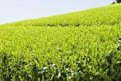 Fresh tea leaves Stock Image