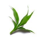 Fresh tea leaves Royalty Free Stock Image