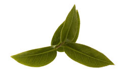 Fresh tea leaves. Fresh tea branch isoalted on the white background Royalty Free Stock Image
