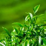 Fresh tea leaves closeup Stock Photography