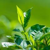 Fresh tea leaves closeup Stock Photo