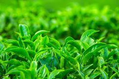 Fresh tea leaves closeup Stock Photo