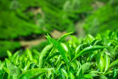 Fresh tea leaves closeup Royalty Free Stock Images