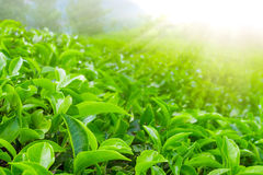 Fresh tea leaves closeup Royalty Free Stock Image