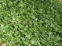 Fresh tea leaves Royalty Free Stock Image
