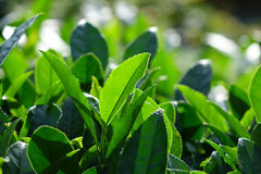 Fresh tea leaves Stock Photography