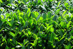 Fresh tea leaves Royalty Free Stock Photo