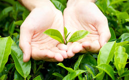 Fresh tea leaves in hands Royalty Free Stock Photos