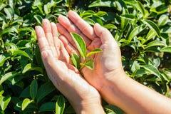 Fresh tea leaves in hands over tea bush on plantation Royalty Free Stock Photos