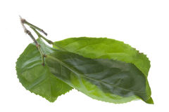 Fresh Tea Leaves Isolated Stock Photography
