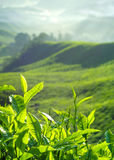 Fresh Tea Leaves at Plantation in Malaysia Stock Images