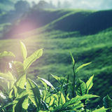 Fresh Tea Leaves at Plantation in Malaysia Concept Royalty Free Stock Photo