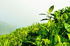 Fresh tea leaves Royalty Free Stock Images