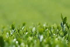 Fresh tea leaves of tea fields Royalty Free Stock Images