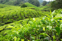 Fresh tea leaves within tea plantation Stock Photos
