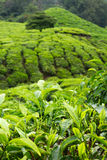 Fresh tea leaves within tea plantation Stock Photography