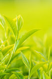 Fresh Tea Leaves Royalty Free Stock Photography