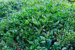 Fresh tea plant Stock Image