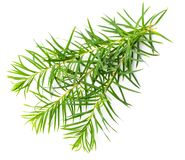 Fresh tea tree leaves isolated on white Stock Image
