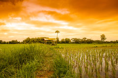 Fresh terrace rice field Stock Image