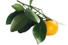 Fresh thai orange fruit with green leaf. Closeup Fresh thai orange fruit with green leaf Royalty Free Stock Photo