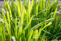 Fresh thick cats grass closeup Royalty Free Stock Images