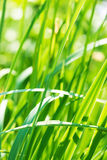 Fresh thick grass Royalty Free Stock Photo