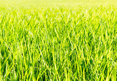 Fresh thick grass Stock Photography