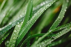 Fresh thick grass with dew drops Royalty Free Stock Photo