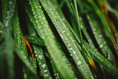 Fresh thick grass with dew drops Stock Photography