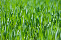 Fresh thick grass, horizontal Royalty Free Stock Photos