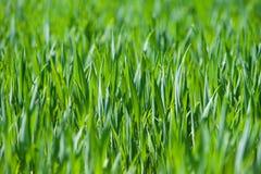 Fresh thick grass, horizontal Royalty Free Stock Photos