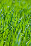 fresh thick grass, vertical Stock Image