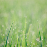 Fresh thick grass with water drops in the early morn Royalty Free Stock Photography