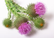 Fresh thistle with flowers. (Silybum marianum) Royalty Free Stock Images