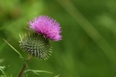 Fresh thistle. On green background Stock Images