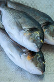 Fresh three raw dorado fish on a metal vintage tray. Selective f. Ocus. Overhead view Stock Photography