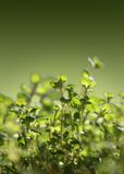 Fresh Thyme. Stalks against green background Royalty Free Stock Photos