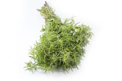 Fresh thyme. Thyme is an aromatic perennial evergreen herb with culinary, medicinal, and ornamental uses Stock Image