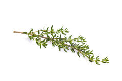 Fresh thyme branch. Isolated on white background stock images
