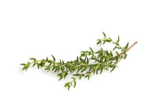 Fresh thyme branch. Isolated on white background stock photo