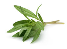 Fresh thyme branch Stock Images