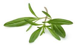 Fresh thyme branch Royalty Free Stock Photo
