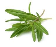 Fresh thyme branch Stock Photo